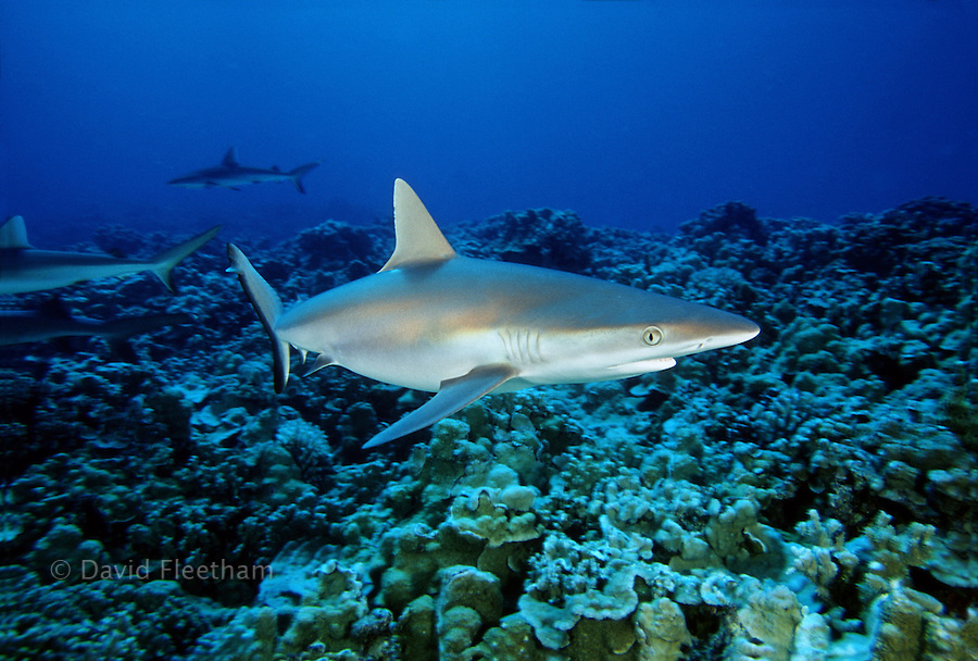 Gray reef sharks, Carcharhinus amblyrhynchos, are a common coastal-pelagic and inshore species found on coral reefs adjacent to drop-offs involving current and the open ocean.
