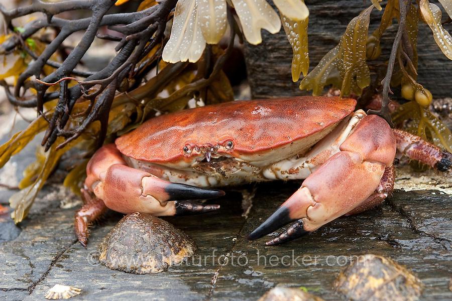 Taschenkrebs, Taschen-Krebs, Cancer pagurus, European edible crab, Krabbe, Knieper