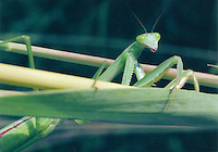 Praying Mantis, Md.