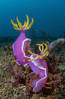 Hypselodoris apolegma pair with blue water background