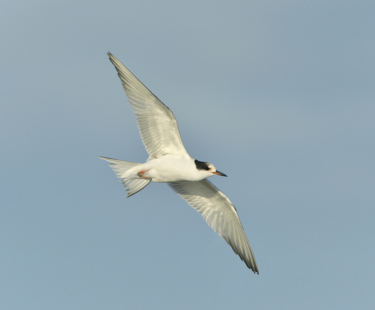 Common Tern - Sterna hirundo - Juvenile. L 35cm. Similar to Arctic Tern but separable with care. Sexes are similar. Adult in summer has grey upperparts, black cap and whitish underparts. Compared to Arctic, note black-tipped orange-red bill, longer red legs, and paler underparts. In flight from below, only inner primaries look translucent and wings have diffuse dark tip. Non-breeding plumage (sometimes seen in late summer) is similar but has white on forehead and dark shoulder bar; bill and legs are dark. Juvenile has white underparts, incomplete dark cap and scaly grey upperparts; in flight from above, leading and trailing edges of inner wing are dark. Voice Utters harsh kreeear call. Status Widespread summer visitor, commonest on coasts; also nests on flooded gravel pits and reservoirs. Widespread coastal passage migrant.