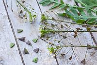 Hirtentäschelkraut, Kräuterernte, Blüten, Blätter und Früchte, Samen werden für einen Salat, Kräutersalat gesammelt, Hirtentäschel-Kraut, Hirtentäschel, Gewöhnliches Hirtentäschel, Capsella bursa-pastoris, Shepherd´s Purse, molette à berger, capselle, bourse de capucin, bourse de Juda