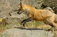 Red Fox playing with a mouse in Yosemite, Calif.