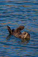 Sea Otter (Enhydra lutris) pup. California coast.