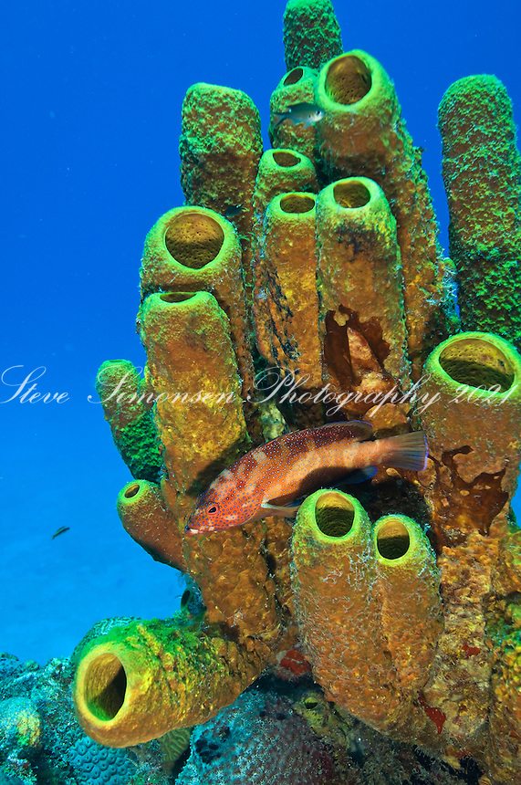 Coney and tube sponge.The wreck of the Suffix Maid in Butler Bay near Fredericksted, .St. Croix, USVI