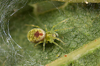 Kräuselspinne, Nigma puella, Dictyna puella, Kräuselspinnen, Dictynidae, small cribellate spiders