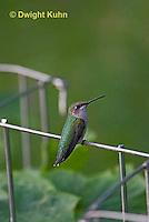 HU02-501z  Ruby-throated Hummingbird resting on garden fence, Archilochus colubris.