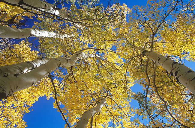 Autumn, Aspen Trees, White River National Forest, Colorado