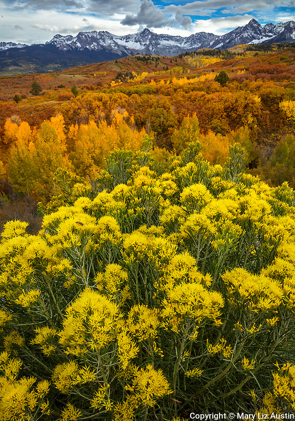 Uncompahgre National Forest, CO: Rabbitbrush (Ericameria nauseosa) blooming with fall colored aspens on Dallas Divide with the Sneffels range in the distance