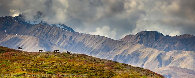 Panorama of bull caribou running across a mountain ridge in the Alaska Range mountains, Denali National Park, Interior, Alaska.