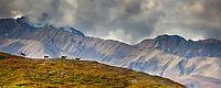 Panorama of bull caribou running across a mountain ridge in the Alaska Range mountains, Denali National Park, Interior, Alaska.