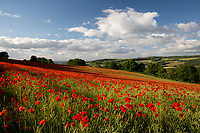 United Kingdom, England, Gloucestershire, Cotswolds, near Winchcombe: Field of red poppies (Papaver rhoeas) | Grossbritannien, England, Gloucestershire, Cotswolds, bei Winchcombe: bluehender Klatschmohn (Papaver rhoeas)