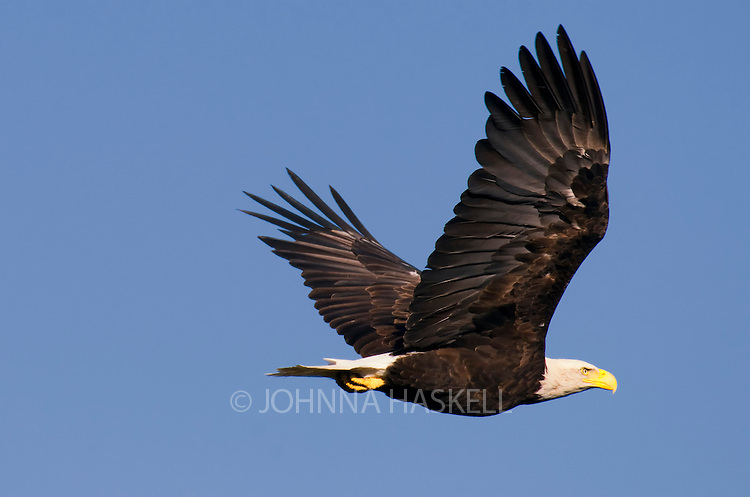 Bald eagles in flight are difficult to capture with all the movement and speed they carve through the air.