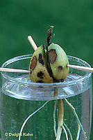 HS69-019x  Asexual Reproduction - avocado seed placed in water to develop roots - see HS69-022x