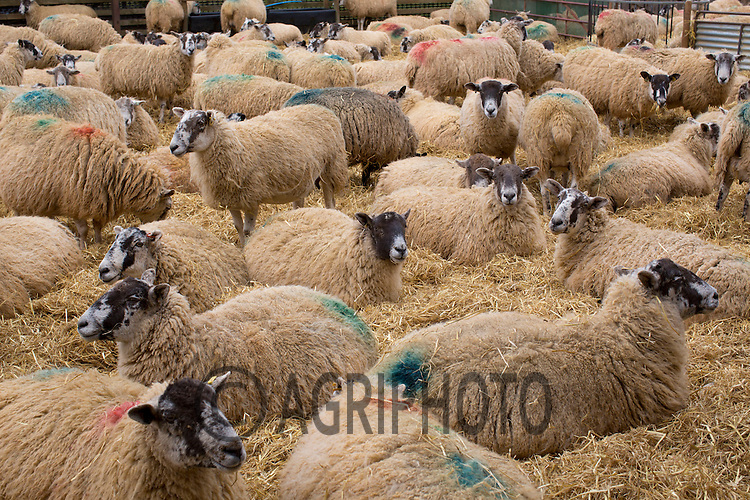 Ewe's in straw yards waiting to lamb..Picture Tim Scrivener date taken 2nd March 2013.Mobile 07850 303986 e-mail tim@agriphoto.com.          ?.covering agriculture in the Uk?....