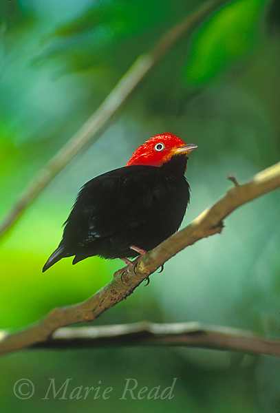 Red-capped Manakin (Pipra mentalis) male perching, Soberania National Park, Panama.<br /> Slide # B103-593