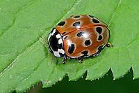 Augenmarienkäfer, Augen-Marienkäfer, Augenfleck-Marienkäfer, Anatis ocellata, eyed ladybug, Eye-spotted lady beetle, La Coccinelle à ocelles, anatis ocellé