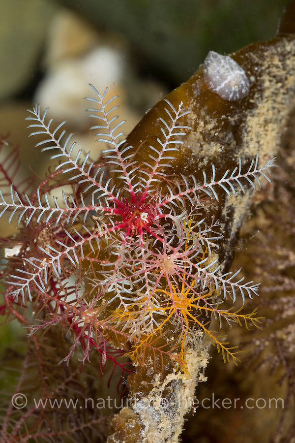 Rosiger Federstern, Atlantischer Haarstern, Atlantischer Haarseestern, Antedon bifida, Rosy Feather-Star, rosy feather star, European comatulid, Atlantic feather star, La comatule commune, Federsterne, Haarsterne, Antedonidae, feather stars, feather-stars
