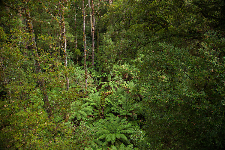 Walk high above the dense rainforest at Otway Fly in the Otway Mountains, Victoria