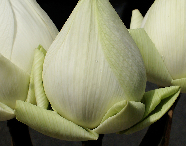 A close up of three light green, closed lotus flowers grouped with folded exterior petals ready to be presented to dieties at a temple in Thailand, sprinkeled with water droplets after a rain.