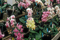 Variety of Large-Flowered Phalaenopsis plants, Moth Orchid Hybrids in pots on benches, phals in many colors, pink, white, yellow, colored lip, striped