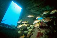 schoolmasters, Lutjanus apodus, Tugboat Wreck, Key West, Florida Keys National Marine Sanctuary, Atlantic Ocean