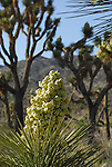 blooming yucca and joshua trees