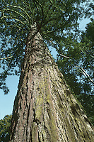 Wellingtonia (Giant Sequoia) Sequoiadendron giganteum (Taxodiaceae) HEIGHT to 50m. An outstandingly large evergreen. Forms a striking, narrowly conical tree with a huge tapering bole, ridged and fluted at the base. BARK Thick, spongy and rich-red. BRANCHES lower branches are pendulous, but the upper branches are more level. LEAVES Scale-like, green and up to 1cm long; they clasp the shoots, and smell of aniseed when crushed. REPRODUCTIVE PARTS The small yellow male cones can be abundant and grow at the tips of the shoots, releasing their pollen in spring. Female cones are solitary, sometimes paired, and ovoid, up to 8cm long and 5cm in diameter when ripe, with a deep brown colour and a corky texture. STATUS AND DISTRIBUTION A native of the Sierra Nevada in California. First discovered in 1852, it was soon introduced into Britain, where it thrives best in the west.