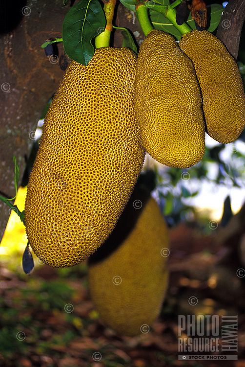 Close up of large Jack fruit, taken at Frankie's nursery, Island of Oahu