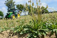 DEUTSCHLAND, Anklam, Continental Forschungsprojekt Versuchsfarm fuer Anbau russischer Loewenzahn (lat. Taraxacum koksaghyz) zur Gewinnung von Naturkautschuk