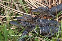 Baby Alligators, Everglades National Park, Florida