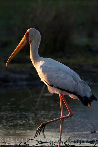 Yellow-billed stork, Lower Zambezi National Park, Zambia.
