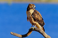 Red-tailed Hawk (Buteo jamaicensis) perched on limb.  Western U.S., winter.
