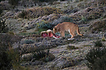 Mountain Lion (Puma concolor) sixteen month old cub feeding on Guanaco (Lama guanicoe) carcass, Torres del Paine National Park, Patagonia, Chile