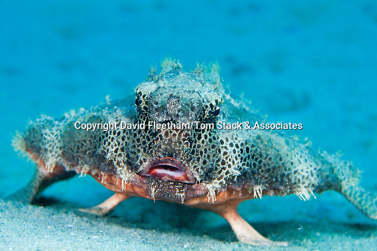 The Polka-Dot Batfish, Ogcocephalus radiatus, is also known as a Spotted Batfish and can reach over one foot in length, Florida, USA.