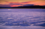 Canada Geese on frozen lake at sunset