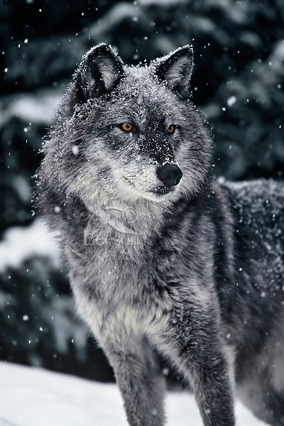 Gray wolf or timber wolf (Canis lupus) in snow.
