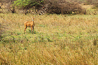 Lone deer roaming in Khijadia wildlife sanctuary, Gujarat.
