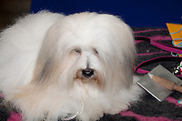 Coton de Tulear on the Grooming table before entering the show ring at the international dog show in prague in May 2014.