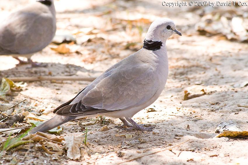 Cape Turtle Dove, South Luangwa NP, Zambia