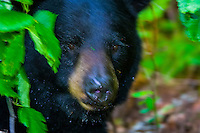 Black bear hides behind leaves on the edge of Big River Lakes (near Redoubt Bay Lodge), Cook Inlet, Alaska