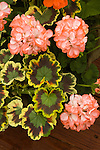 PELARGONIUM 'SONATA ORANGE BICOLOR', INTERSPECIFIC GERANIUM, AND BROCADE-LEAVED ZONAL GERANIUM, PELARGONIUM HORTORUM 'MRS. POLLOCK'