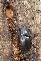 Hirschkäfer, Weibchen, leckt Baumsaft an einer Eiche, Hornschröter, Hirsch-Käfer, Lucanus cervus, Stag beetle, female, Schröter, Lucanidae, Stag beetles