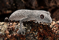 The golden-tailed gecko is grey or white patterned with black patches of varying size over its body. An orange-brown stripe runs along the upper side of its tail. Its eye has a vertical pupil surrounded by a bright orange pupil edged with fine white dots. Its body is 70mm long and the tail is slightly shorter (about 70 percent of the body length).