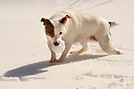 Emma, Jack Russell terrier with snow ball.