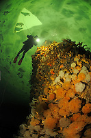 brown sea anemone, Metridium senile, and ice diver, ice diving, scuba diver under ice, Russia,  White Sea, MR
