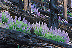 Lupine wildflowers growing back in a burned forest in montana