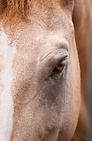 Close-up of a Chincoteague wild pony, Assateague, Virginia