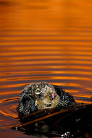 Southern sea otter, Enhydra lutris nereis, resting in kelp, female, reflection, sunset, dusk, vertical, Monterey, California, USA, pacific ocean, national marine sanctuary, endangered species