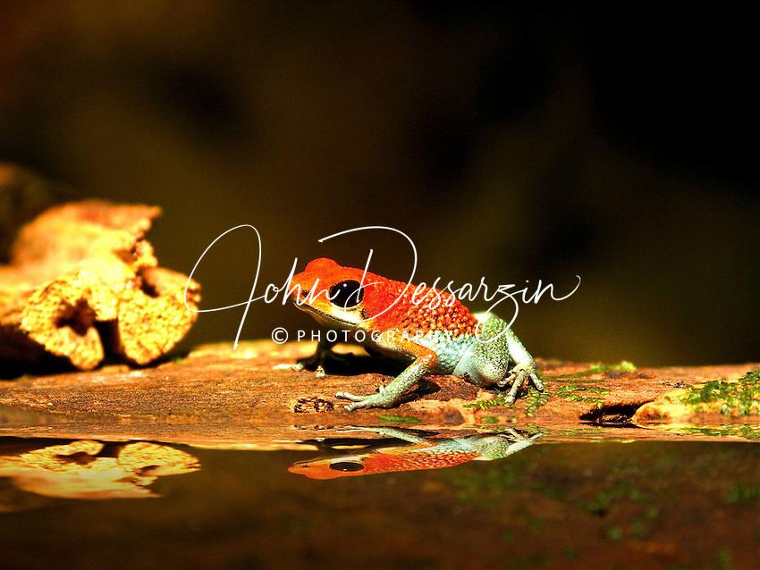 Granular Poison-Arrow Frog